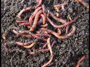 kandungan cacing tanah
