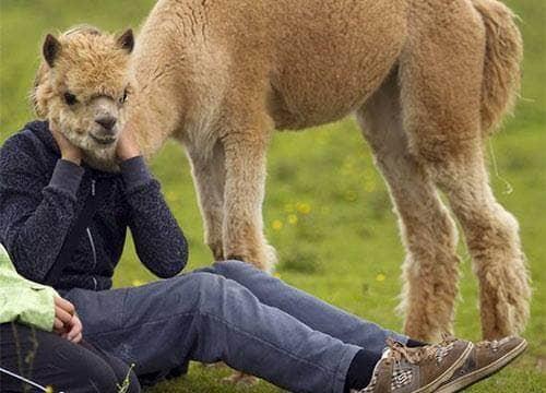 Kepala Llama
