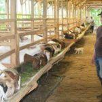 Hewan Ternak Yang Dibudidayakan Di Indonesia